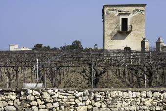 Vineyard in Biscegli Italy