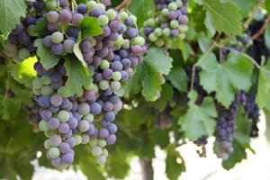 Grapes ripe for picking.
