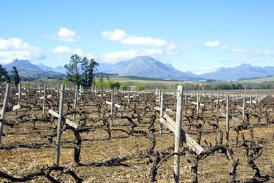 Stellenbosch Vineyard, South Africa