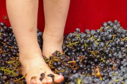 Child stomping grapes.