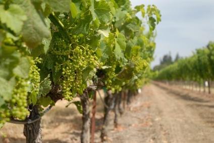 Grapevines in Santa Barbara