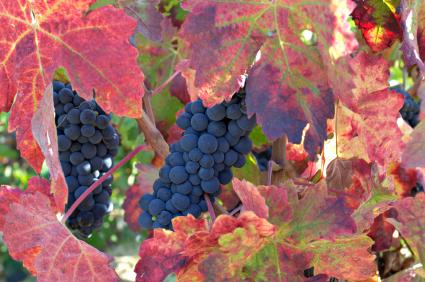 red wine grapes on the vine in autumn