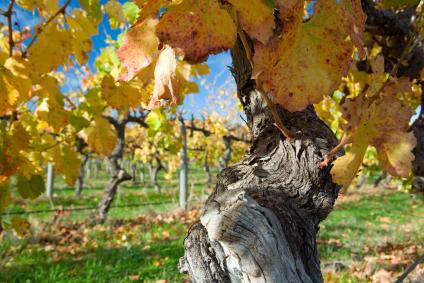 Old vines, McLaren Vale, Australia