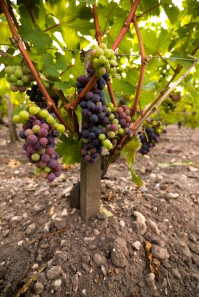 Red wine grape vines