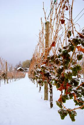Ice wine grapes on the vine in the snow