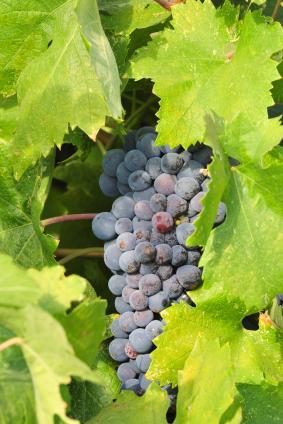 zinfandel-grapes-Bogle.jpg