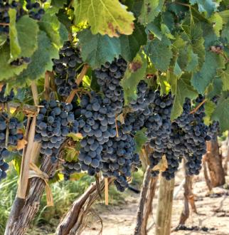Malbec grapes on vine