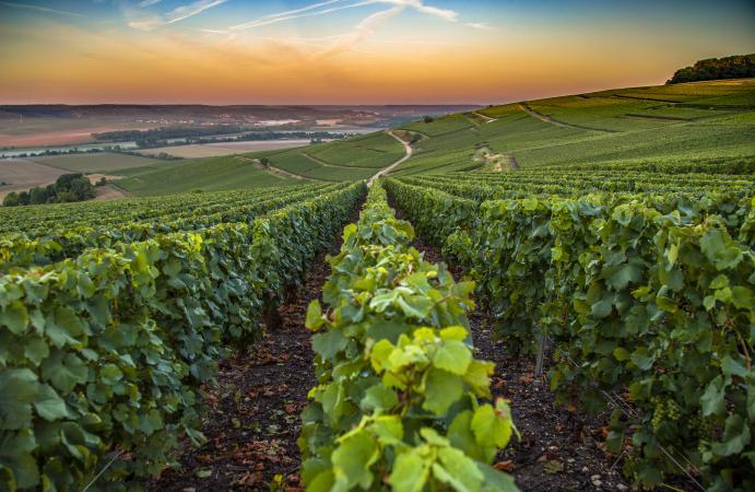 Vineyards in France's Champagne wine region