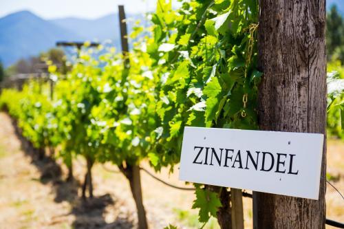 Vineyard growing Zinfandel grapes