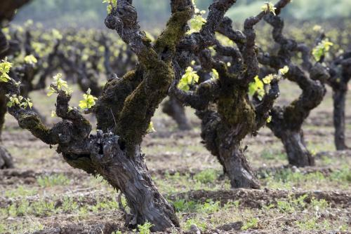 Old vine Zinfandel growing in Dry Creek Valley