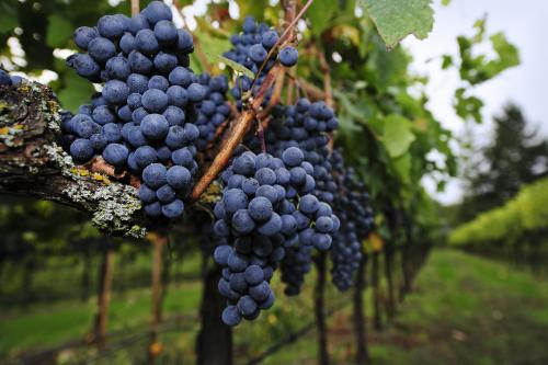 Ripe Merlot grapes in a vineyard