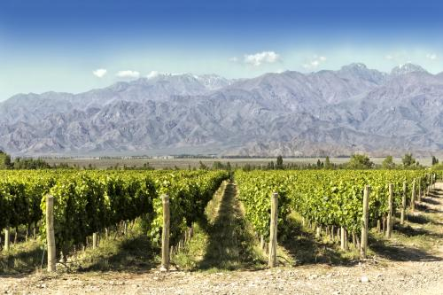 Malbec vineyard in Argentina