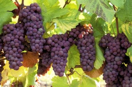 Ripe pinot gris grapes ready for harvest