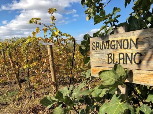 Sauvignon blanc vineyard