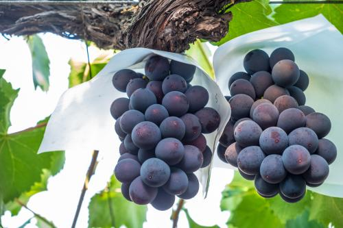 Kyoho grapes on the vine