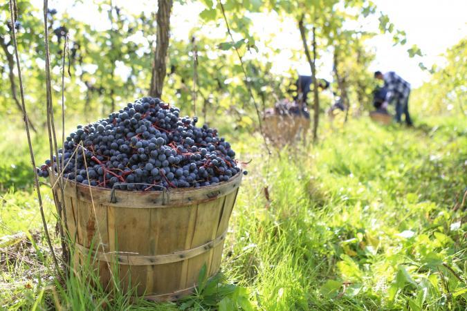 Harvesting organic red wine grapes