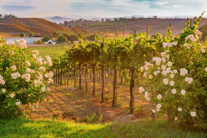 vineyard in Temecula, CA