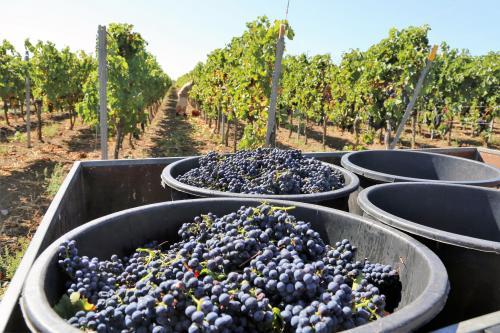 Merlot grape harvest in Italy