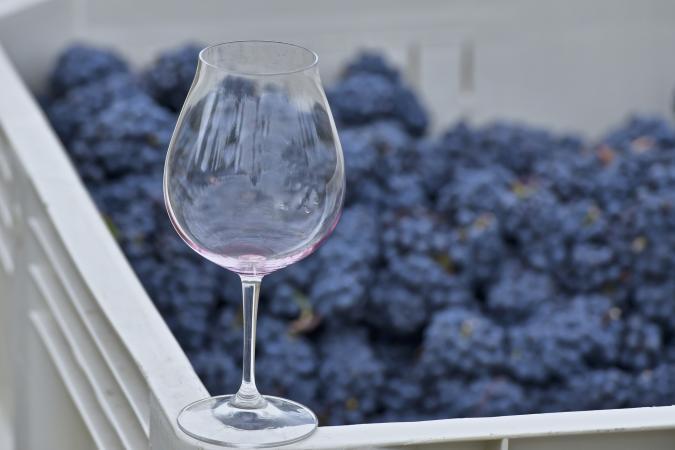 Pinot Noir grape harvest and glass