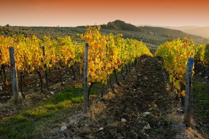 Vineyards in Chianti region at sunset. Tuscany, Italy