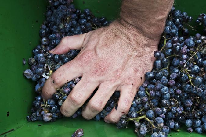 Man pressing grapes by hand